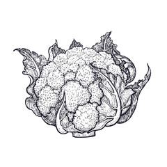 Cauliflower. Hand drawing of vegetables. Vector art illustration. Isolated image of black ink on white background. Vintage engraving. Kitchen design for decoration recipes, menus, sign shops, markets