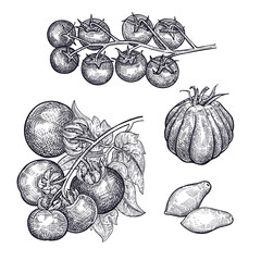 Tomatoes set. Hand drawing of vegetable. Vector art illustration. Isolated image of black ink on white background. Vintage engraving. Kitchen design for decoration recipes, menus, sign shops, markets.