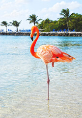 Pink Flamingo on the beach; Aruba island, Caribbean sea