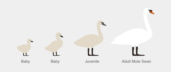 mute swan, from baby to adult swan in a row
