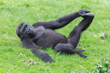 Gorilla doing gymnastics, funny monkey