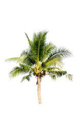 Coconut palm tree on white isolation