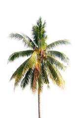 Coconut palm tree on white isolation