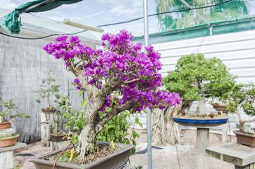 Bougainvillea bonsai in bloom in a garden. Fuchsia flower.