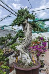 Old Olea europaea bonsai, olive bonsai in a garden