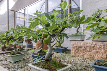 Ficus carica bonsai, fig tree bonsai with figs