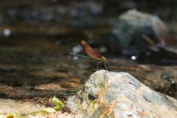 Calopteryx atrata カミサマトンボ