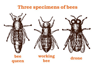 Bee vintage set. Brown  and white graphic doodle design. Bee specimens. The  queen bee, the worker bee and the drone. Vector illustration.