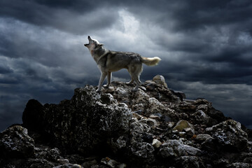 Fotobehang Wolf A lone wolf sings his song on top at night