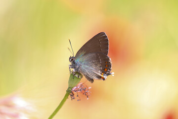 Satyrium Ilicis. Close up of butterfly in nature with Poppy flowers.