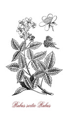 Vintage illustration of blackberry, perennial plant with palmated leaves,very sharp prickles, flowers and edible fruits (berries), it grows also in poor soil.
