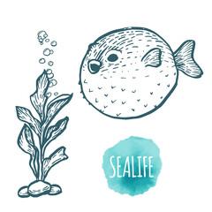 Fugu fish drawing on white background. Hand drawn seafood illustration.