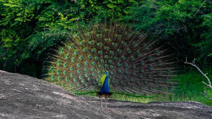 Dancing peacock with fluffed tail in Yala national park, Sri Lanka