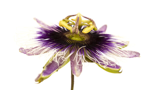 purple and white passionflower isolated