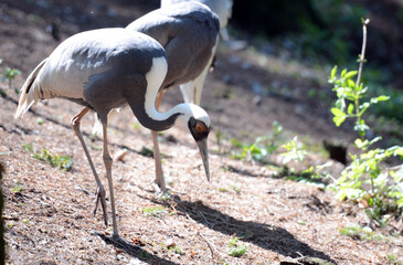 White-naped Crane (Grus vipio), animal scene