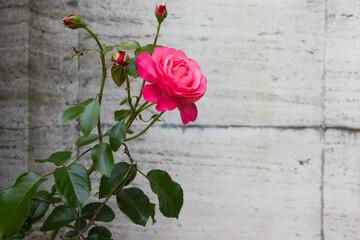 Close up magenta rose in garden