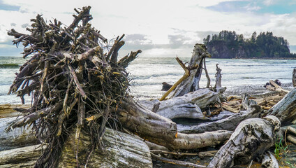 The trees lying at famous La Push beach - forested trail - FORKS - WASHINGTON