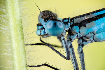 Focus Stacking - Azure Damselfly, Coenagrion puella
