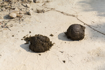 Wild elephant dung on the ground at Phu Luang Wildlife Sanctuary, Loei province, Thailand