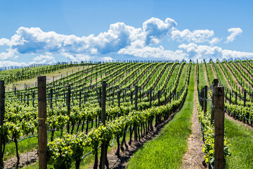 Vineyard in Springtime: Rows of Grapes under a blue sky