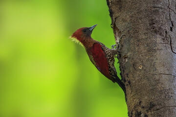 Beautiful couple of Banded Woodpecker ( Chrysophlegma miniaceum) bird, hatch eggs in the nest, in real nature of Thailand