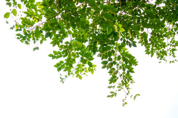 Green tree branch isolated Fototapete