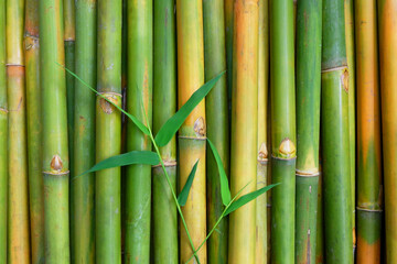 Green Bamboo for background.