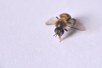 close up bee on white background