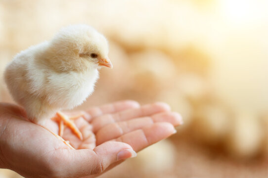 Close up baby chick
