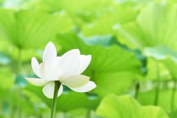 蓮の花 ロータス 白