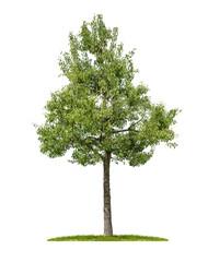 Birnbaum vor weißem Hintergrund