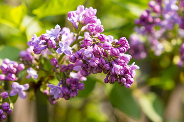 lilac flower in the garden