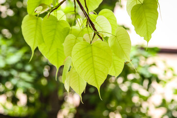 Green Bodhi leaves or Pho leaves in branch of tree
