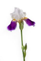 Ирис бело фиолетовый на белом фоне.