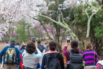 Tourist take photo of cherry blossom in sakura park
