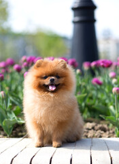 Pomeranian dog in tulips. Dog with flowers in a park