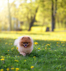 Pomeranian dog outdoor. Portrait of beautiful dog