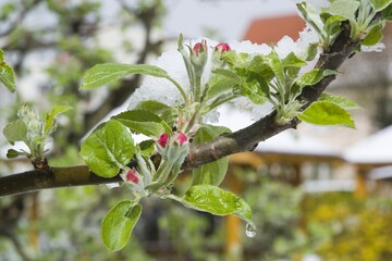 Flowering apple fruit branches covered with snow during the springtime