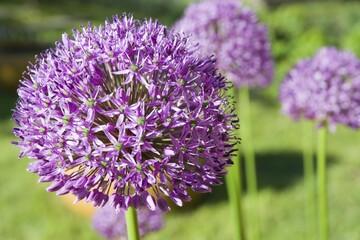 Close-up of blooming purple Garlic flower