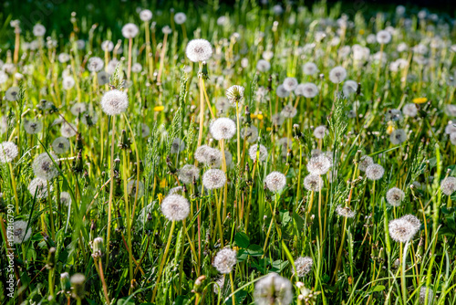 Fluffy dandelions in summer on green grass