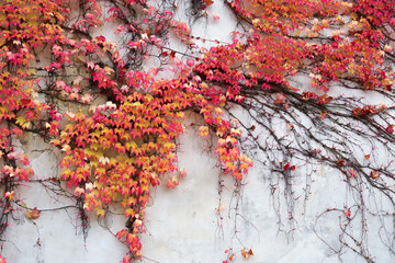Beautiful red autumn ivy is claiming up the white old wall. Wall is hidden under the ivy. Ivy bush.
