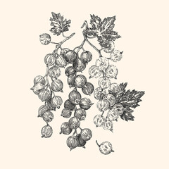 Currants. Black, red and white berry. Vintage style. Vector illustration