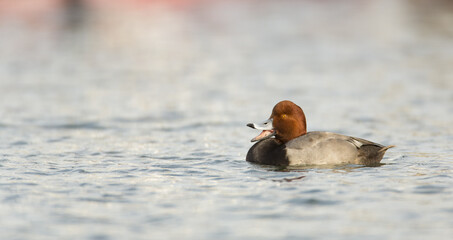 Redhead (duck) Calling