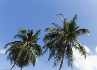 Palm trees on a blue sky background