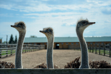 three funny ostrich in the background of the farm