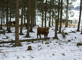 Highland cattle or  Scottish cattle in the forest
