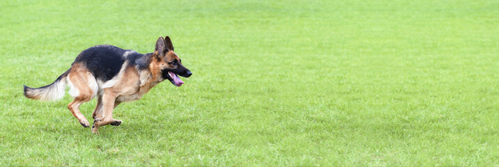 Running dog - website banner of a German Shepherd as running in the grass