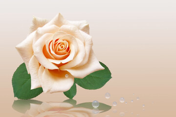 Light rose with drop