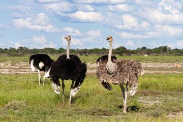 Ostrichs at Etosha National Park