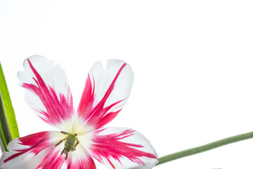 Red and white tulip flower